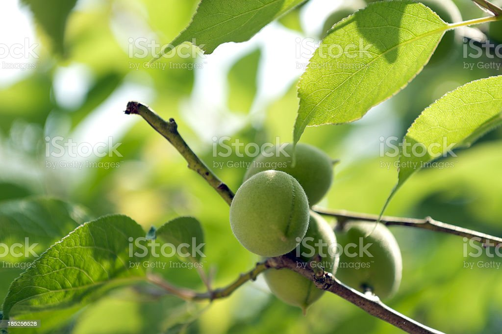 Apricots on a branch stock photo
