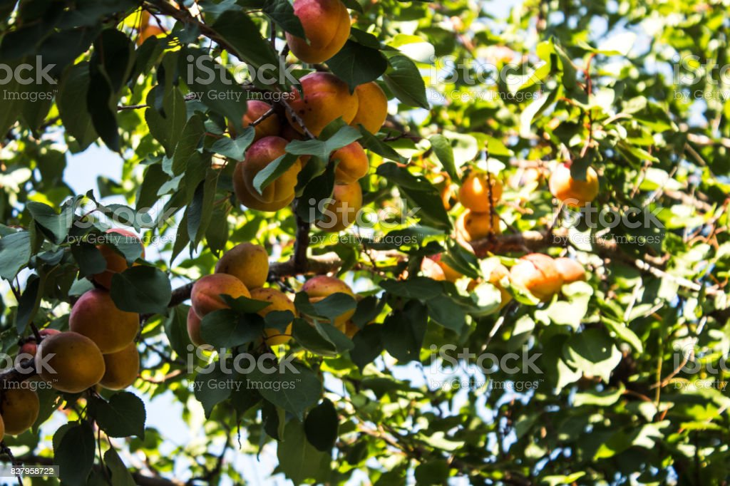 Apricots on a tree branch stock photo