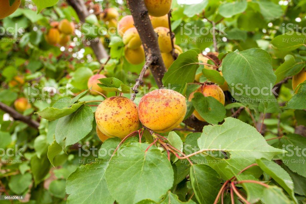 Apricots on branch zbiór zdjęć royalty-free