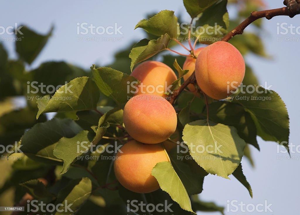 Apricots on tree royalty-free stock photo