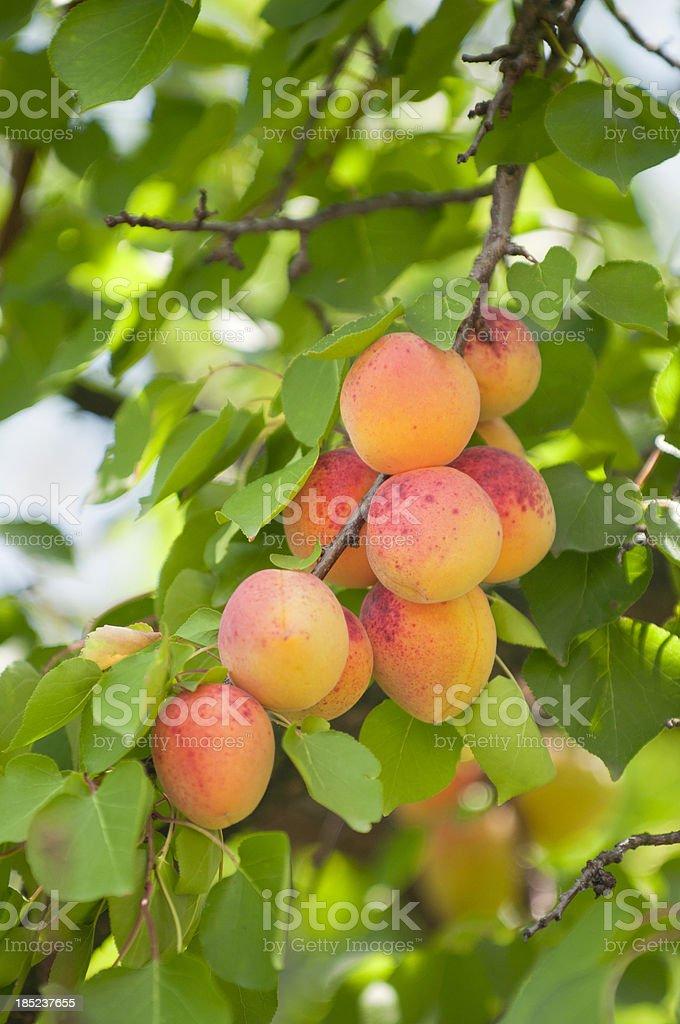 Abricots sur tree - Photo