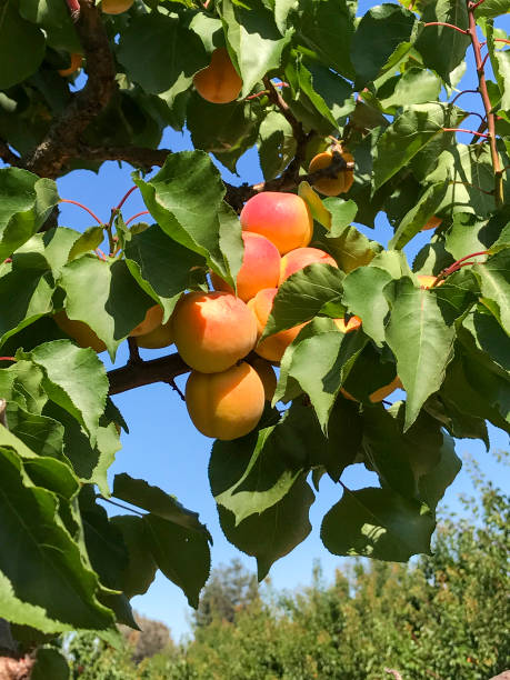 apricots on tree ready to harvest stock photo