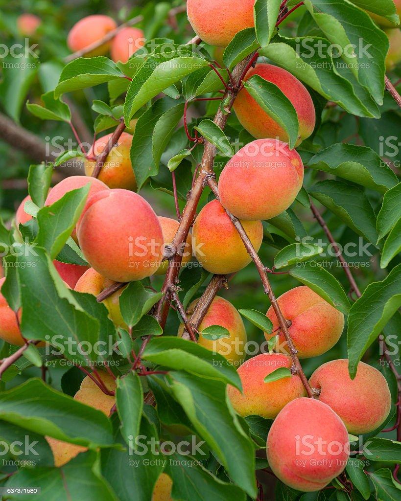 Abricots  - Photo