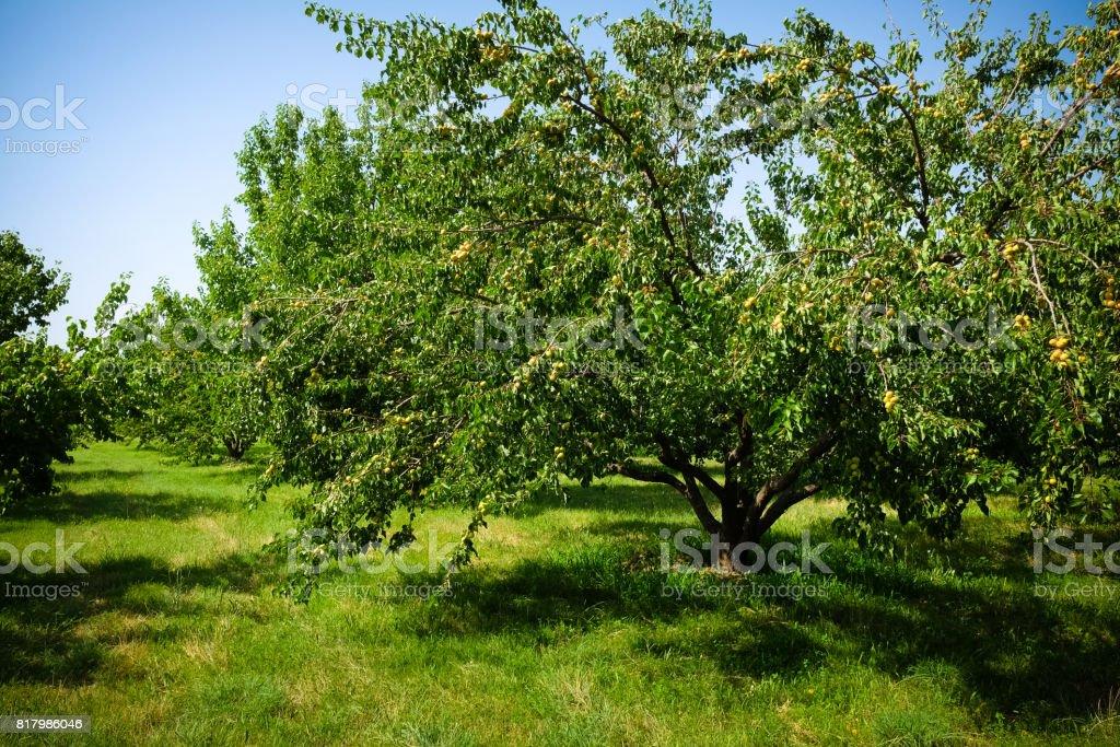 arbres d'abricots - Photo
