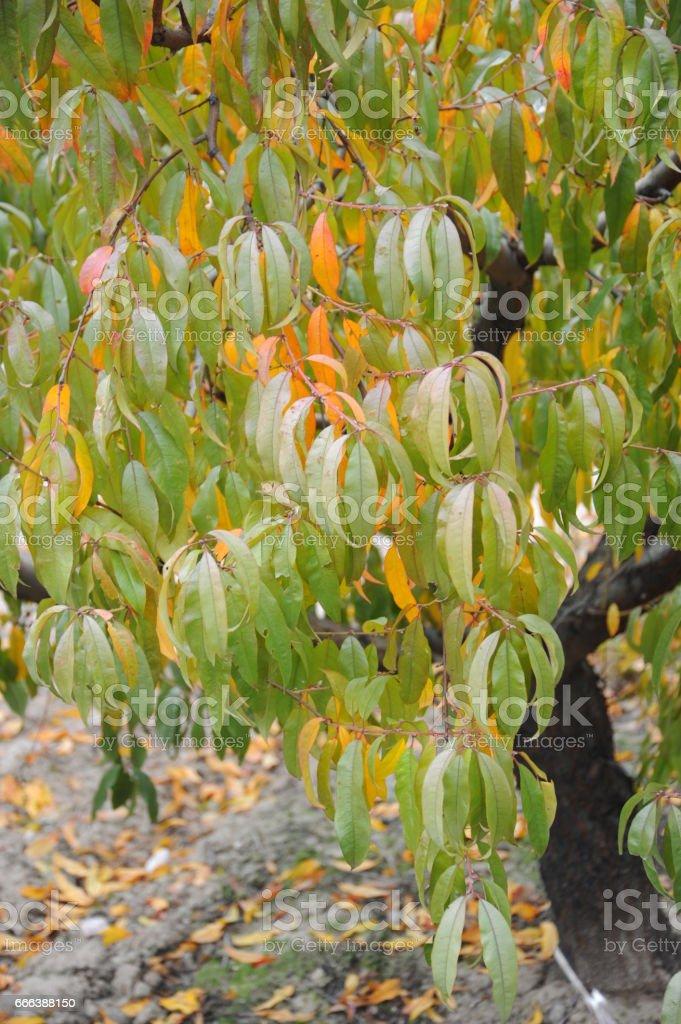 Aprikosenbaum Im Herbst Spanien Stock Photo More Pictures Of