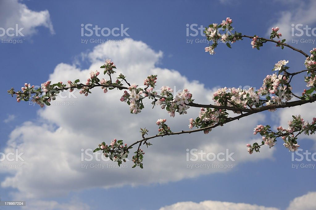 April blossom royalty-free stock photo