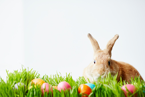 Easter bunny sitting in grass and looking at camera