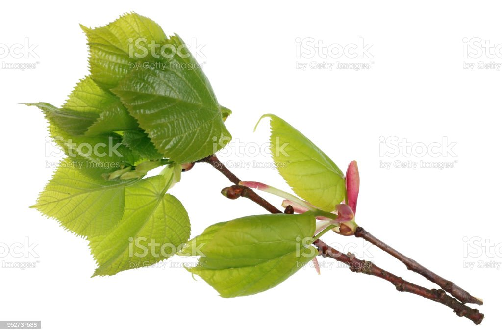 April spring branch with leaf bud of the linden tree macro.