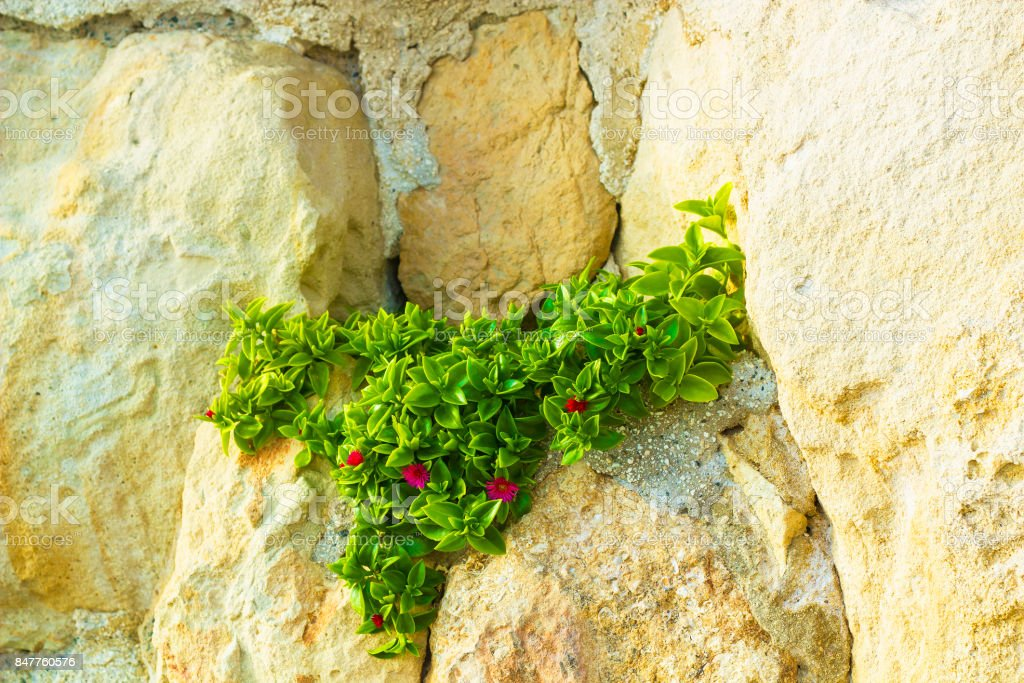 Aptenia cordifolia plant with pink flowers growing on rock....