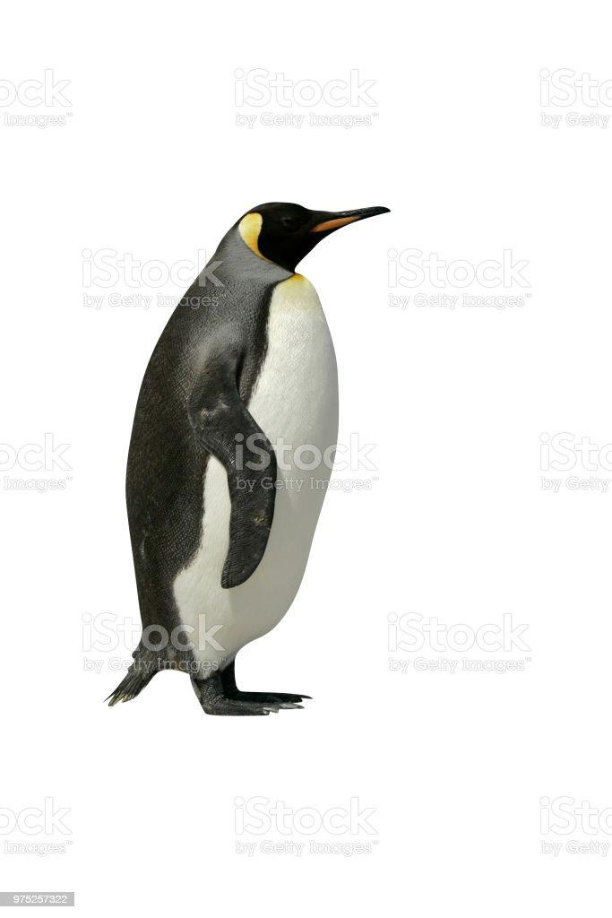 KING PENGUIN, Aptenodytes patagonicus stock photo