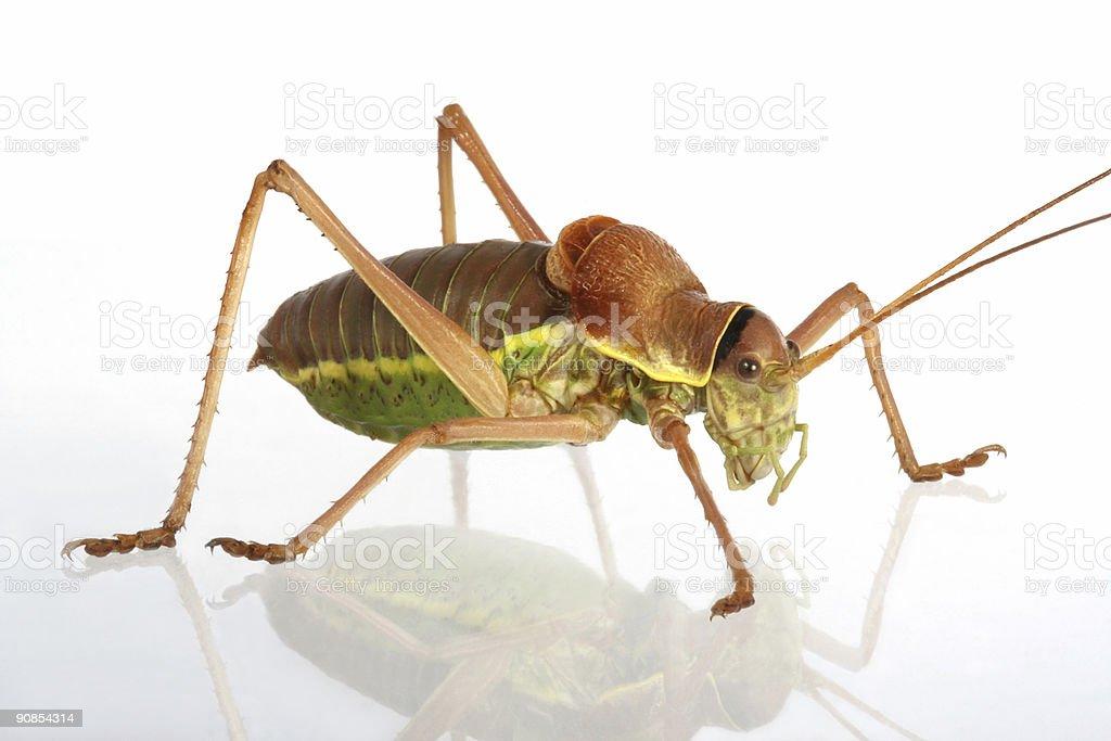 Apterous Grasshopper royalty-free stock photo