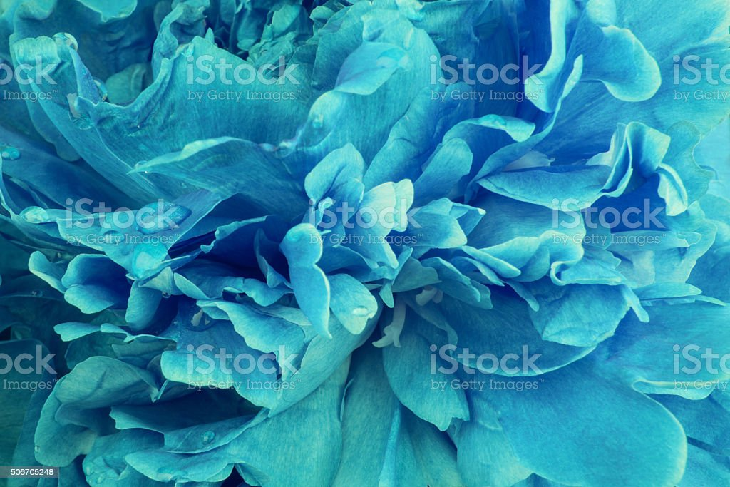 Aquaamarine peony background stock photo