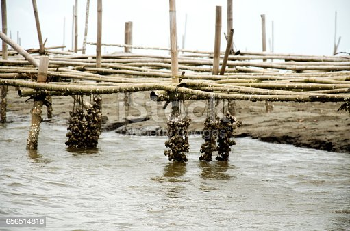 istock Aquaculture of shellfish Oyster farm in the sea 656514818