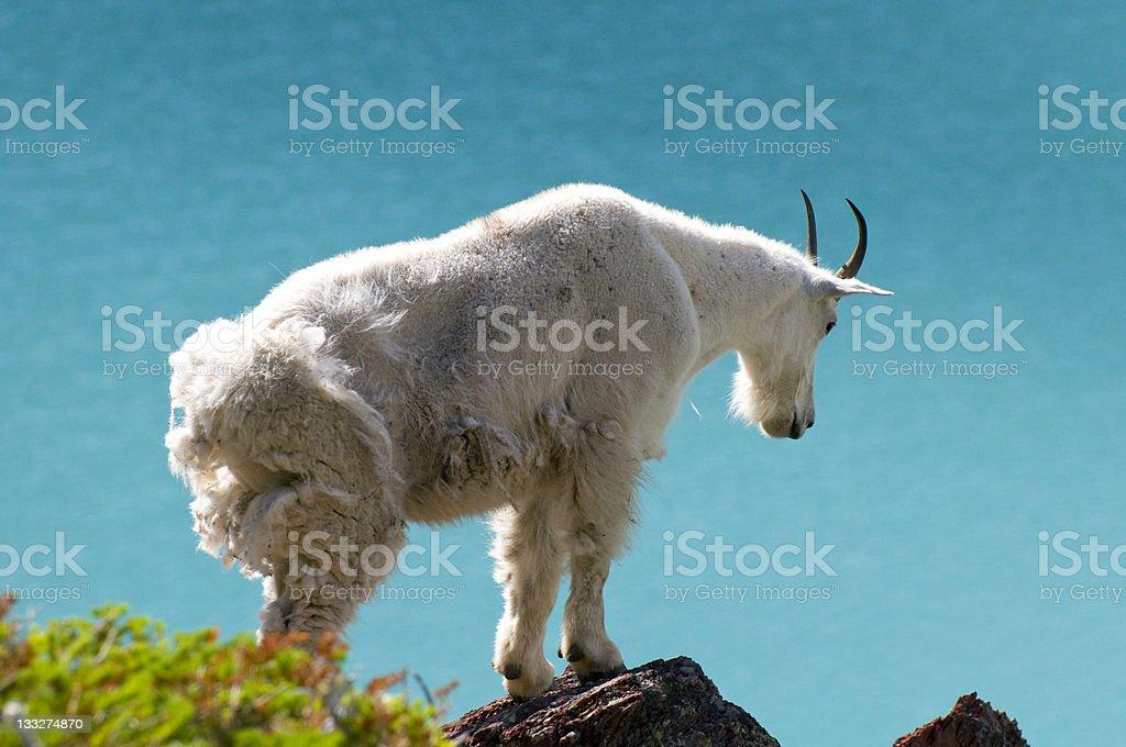 Aquamarine Glacial Lake and Mountain Goat royalty-free stock photo