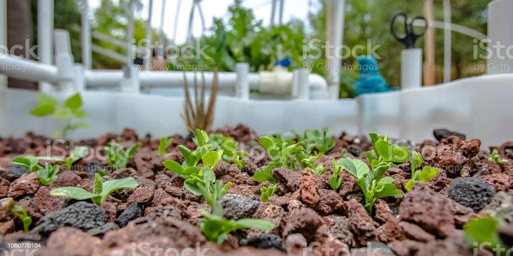 Aquaponics method of growing a summer squash stock photo