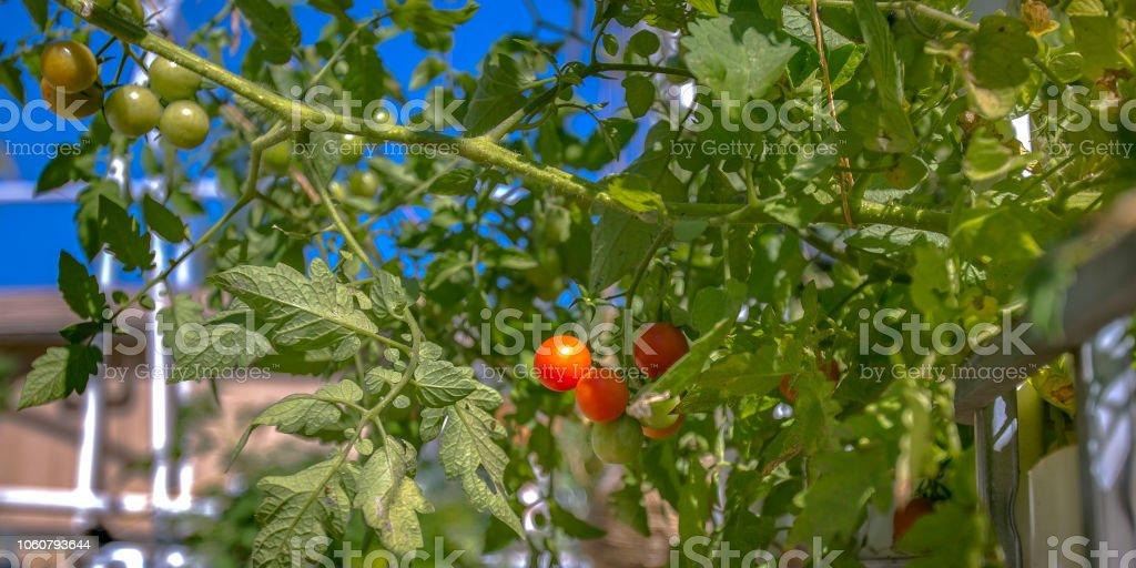 Aquaponics method of growing red cherry tomatoes stock photo