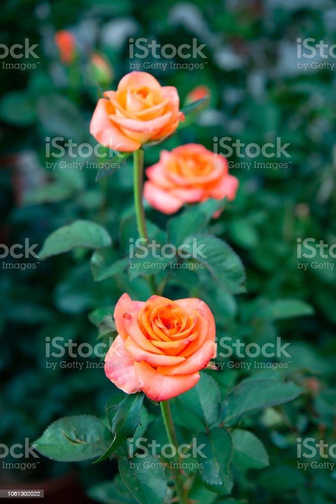 Aquarell is a sumptuous rose of Tantau with a particularly large flower. stock photo