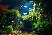 Underwater jungle in tropical fresh water aquarium with live dense red and green plants, different fishes and blue background in low key