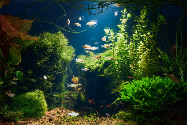 Aquarium at night Underwater jungle in tropical fresh water aquarium with live dense red and green plants, different fishes and blue background in low key aquarium stock pictures, royalty-free photos & images