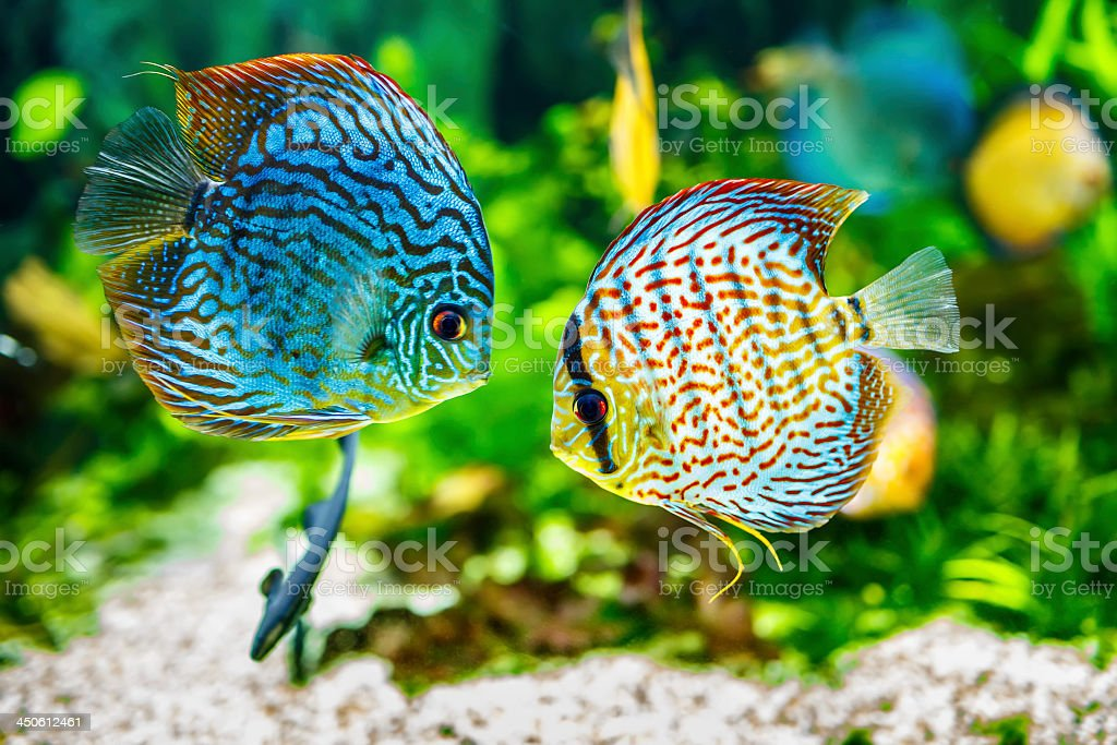 Aquarium displaying two tropical fish symphsodon discus stock photo