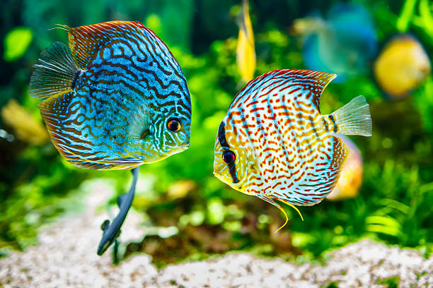 Aquarium displaying two tropical fish symphsodon discus Symphysodon discus in an aquarium on a green background aquarium stock pictures, royalty-free photos & images