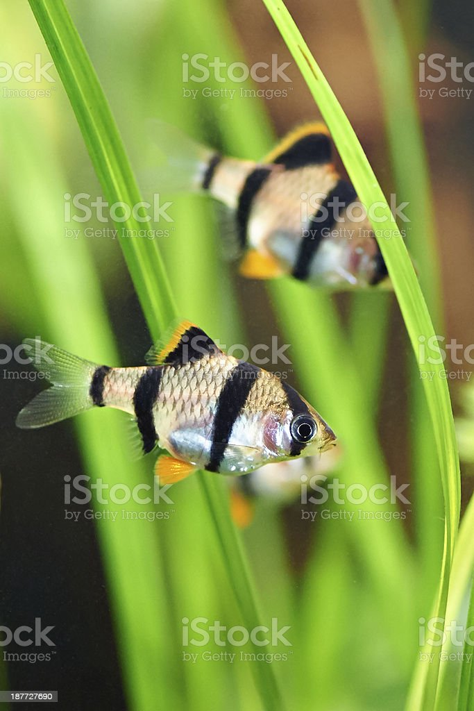 Aquarium fish - barbus tetrazona royalty-free stock photo