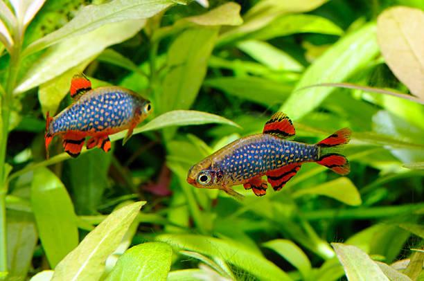 Aquarium-Fische-celestial pearl danio – Foto