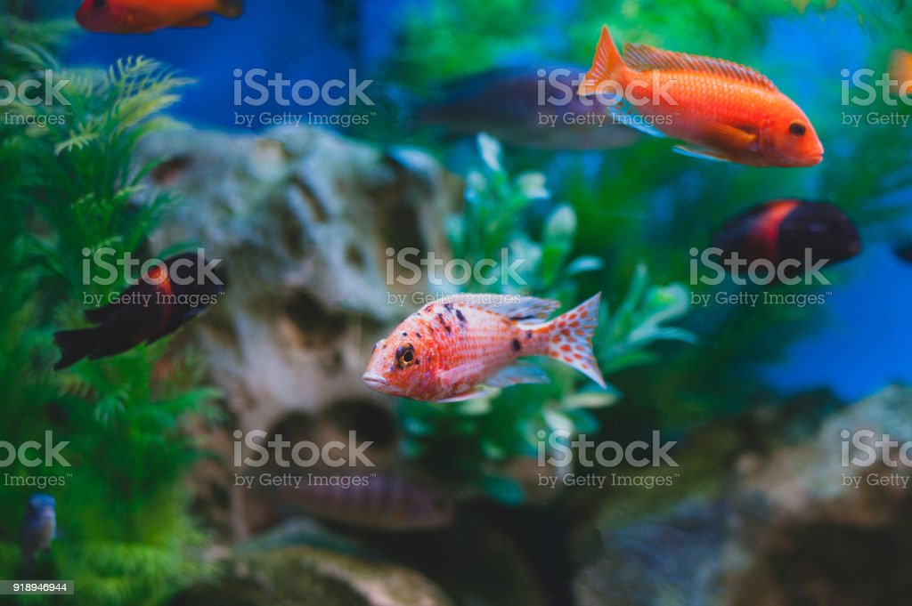 Aquarium Fish Cichlids Fish From The Family Cichlidae In The Order