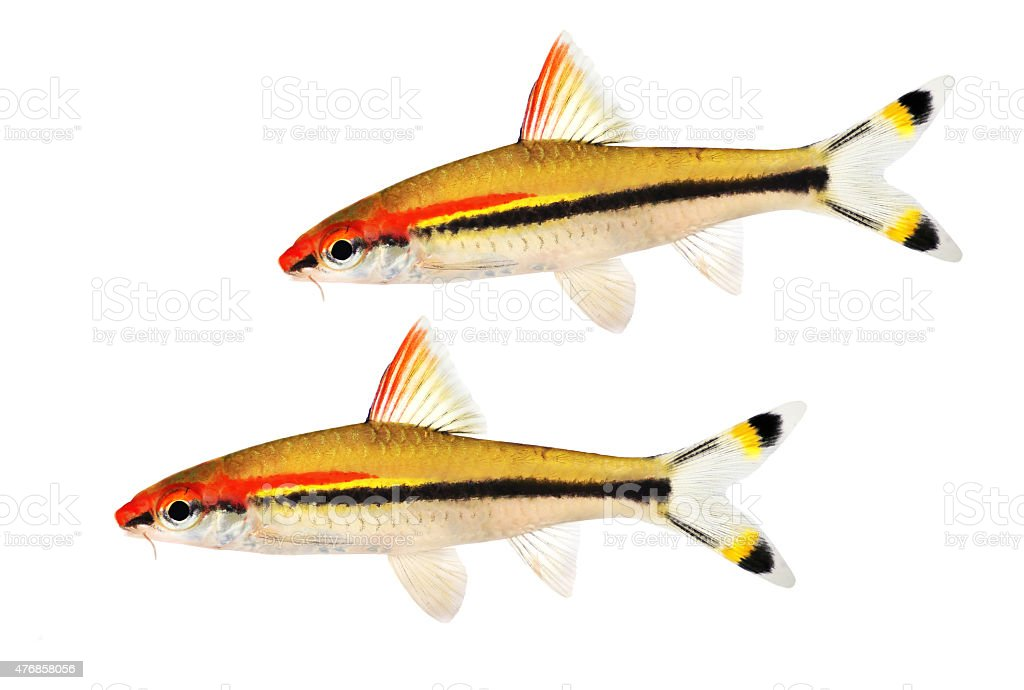 Aquarium fish Denison's barb Roseline Shark Sahyadria denisonii stock photo