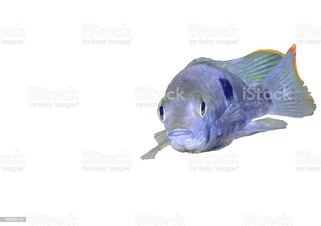 Aquarium Fish dwarf Cichlid-Apistogramma nijsseni. royalty-free stock photo