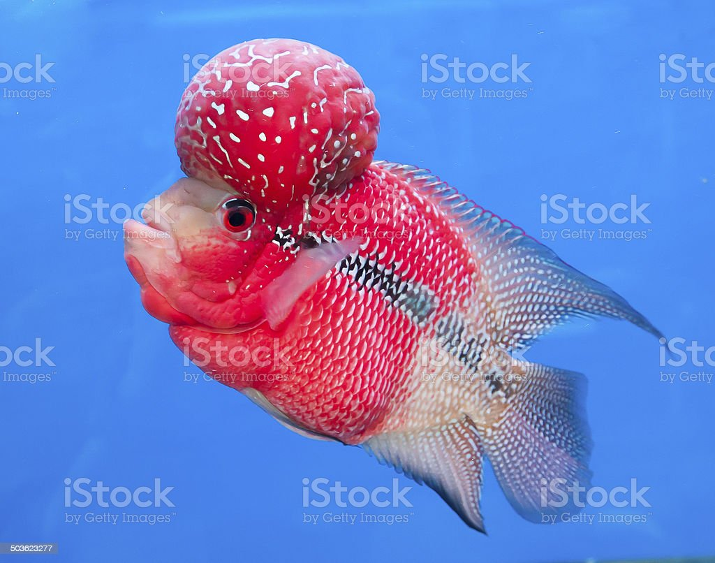 Aquarium Fish Flower Horn Fish On Blue Screen Stock Photo & More ...