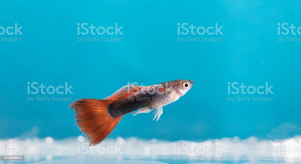 Aquarium fish, Guppy photo libre de droits
