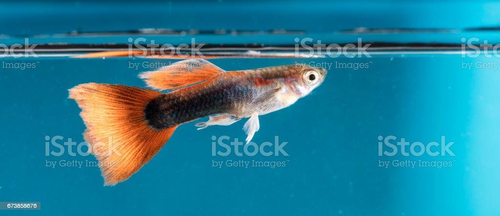 Poissons d'aquarium, Guppy photo libre de droits