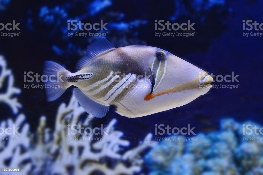Aquarium fish in water. photo libre de droits