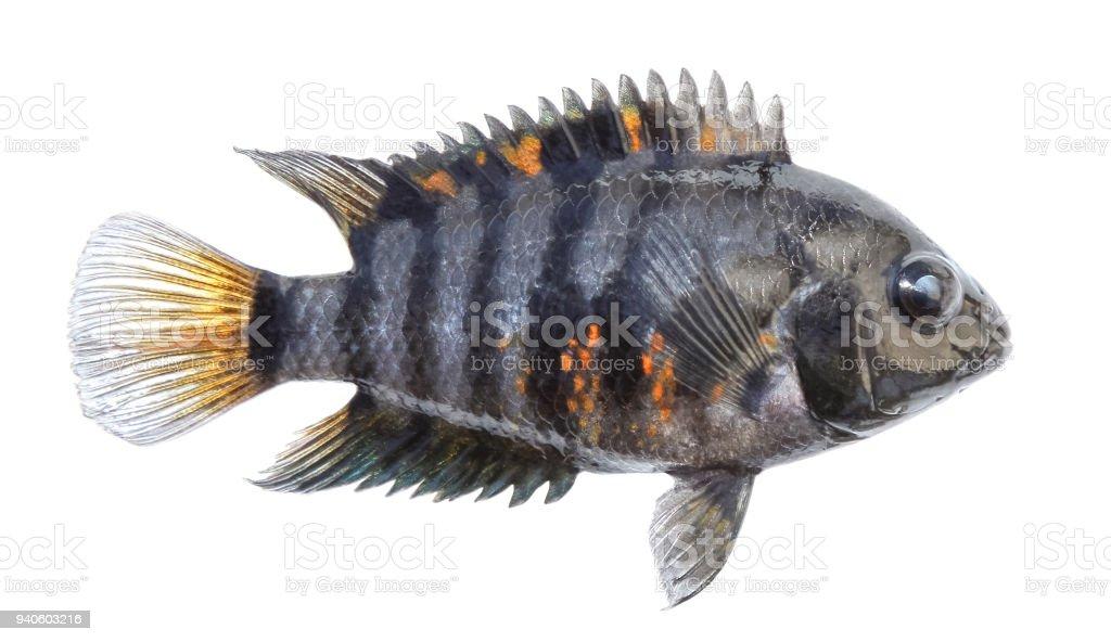 Aquarium fish isolated. Side view. Cichlid, striped zebra stock photo