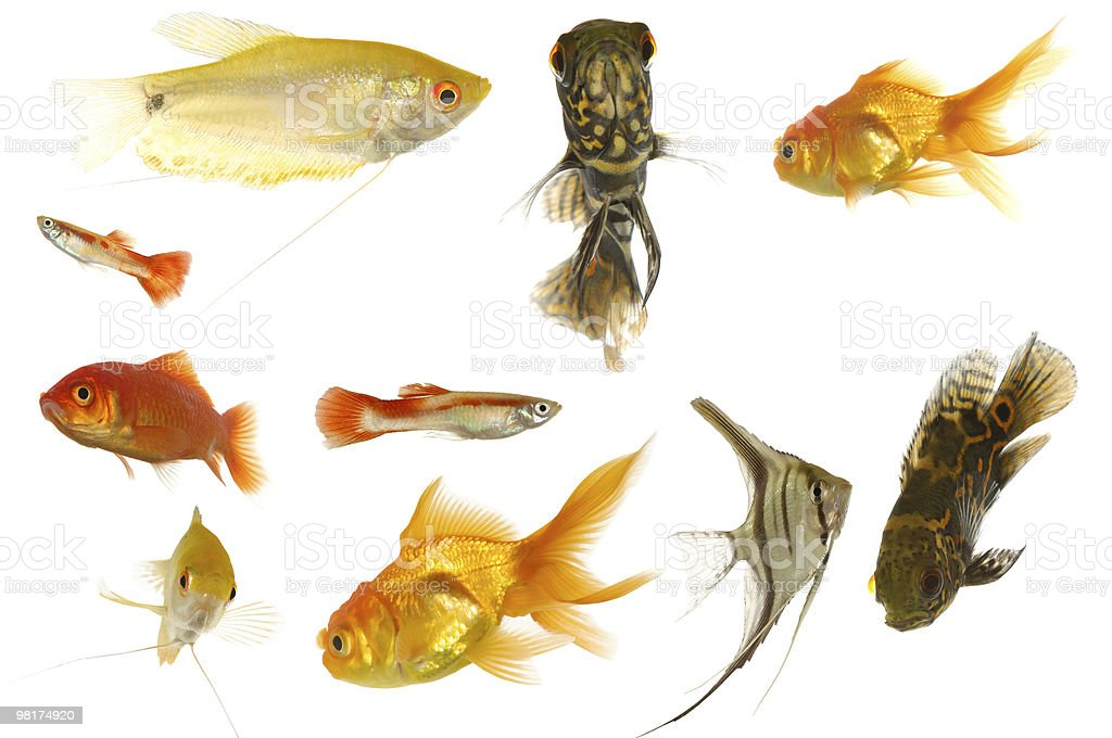 Aquarium fish on white background royalty-free stock photo