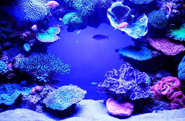 aquarium-fische. - coral and mauve stock-fotos und bilder