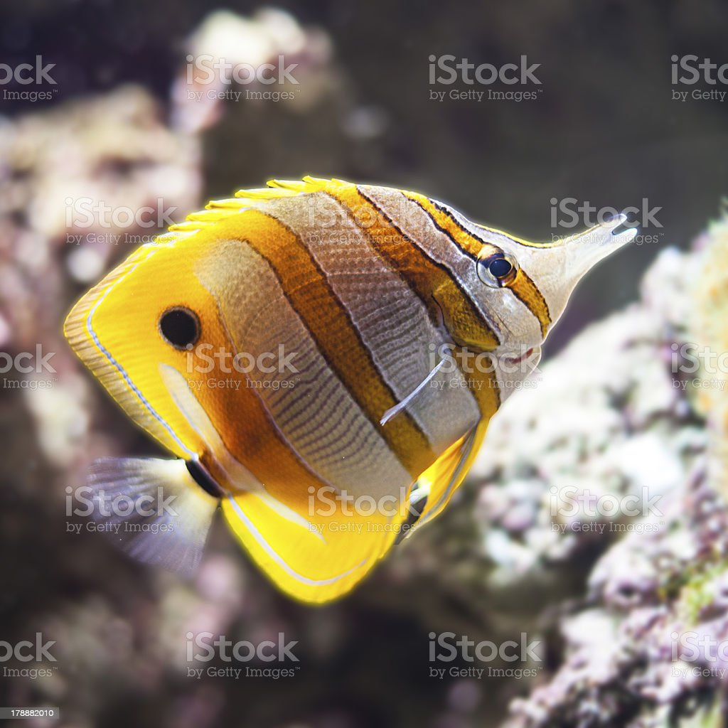 Aquarium fish royalty-free stock photo