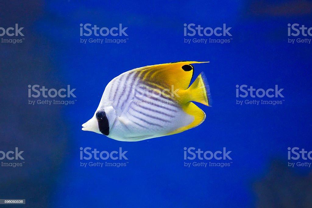 Aquarium fish royalty-free stock photo