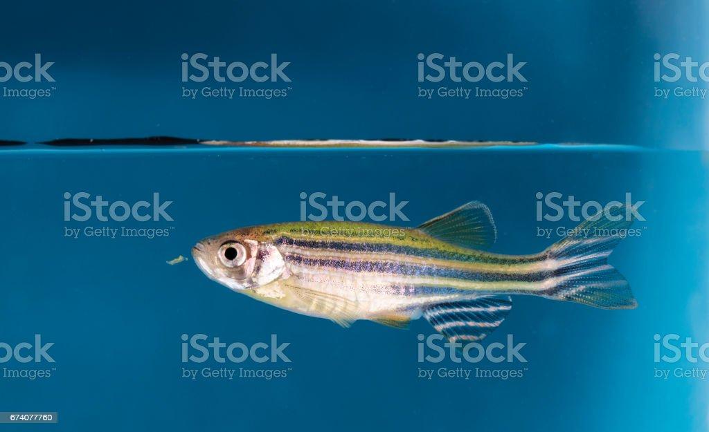 Aquarium fish foto de stock royalty-free