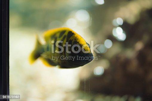 istock Aquarium fish 941673162
