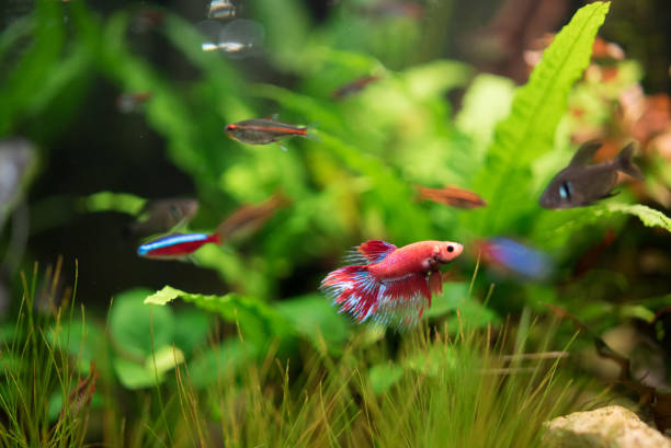 Aquarium Fish Siamese fighting fish (Betta splendens) in a fish tank. Close up shot. freshwater fish stock pictures, royalty-free photos & images