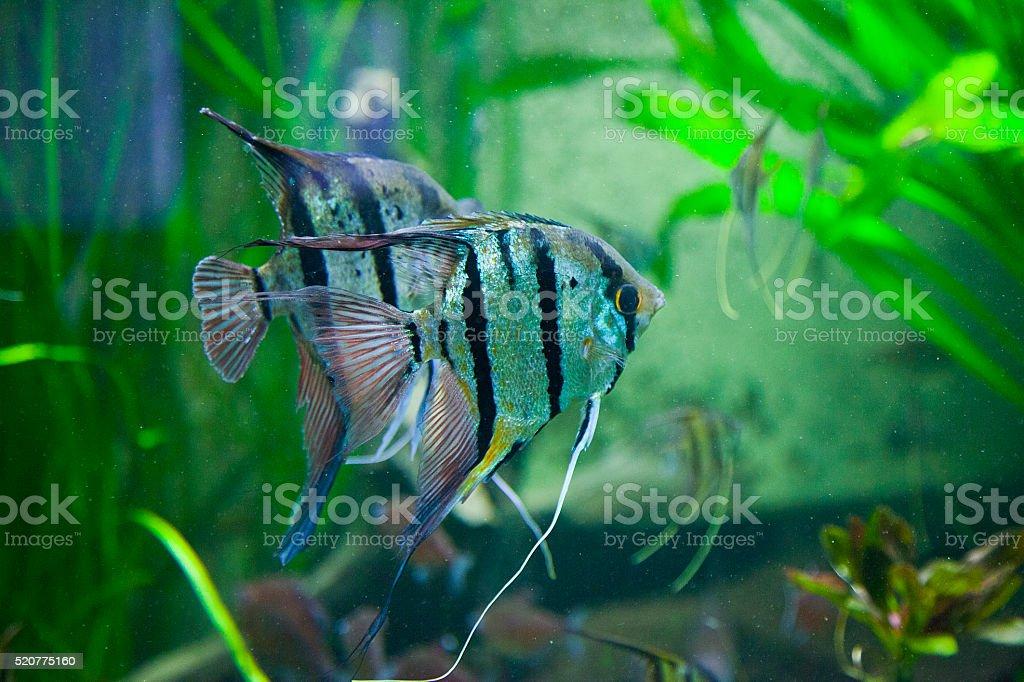 Aquarium Fish Pterophyllum Altum Angelfish Stock Photo More