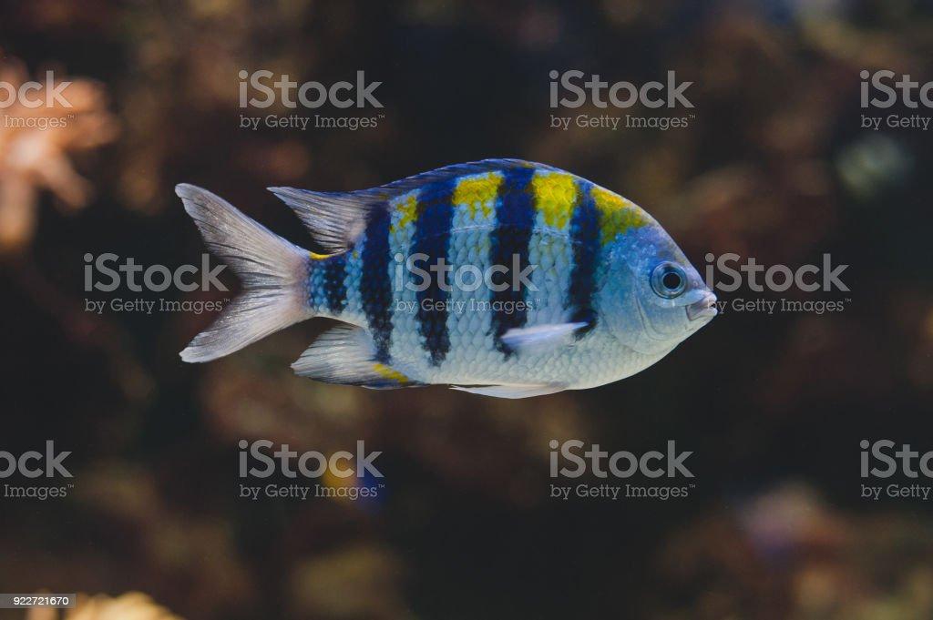 Aquarium fish - sergeant major or píntano. Abudefduf saxatilis. stock photo