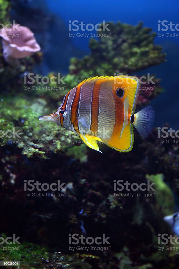 Aquarium fish, Sixspine butterflyfish stock photo