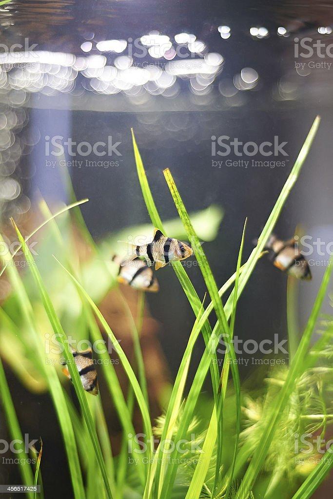 Aquarium fishes - barbus puntius tetrazona royalty-free stock photo