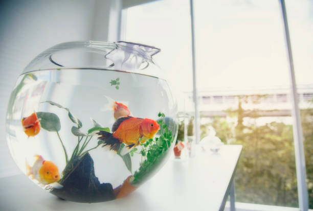 aquarium goldfish placed on the table as a hobby. - home aquarium stock pictures, royalty-free photos & images
