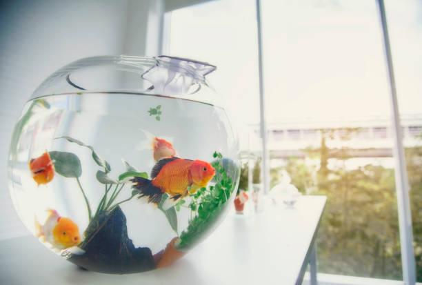 Aquarium Goldfische auf den Tisch gelegt als Hobby. – Foto