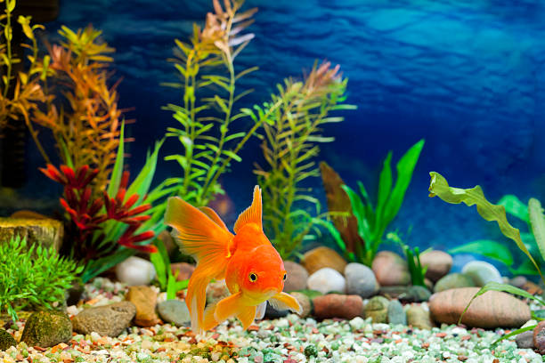 Aquarium Native Gold Fish stock photo