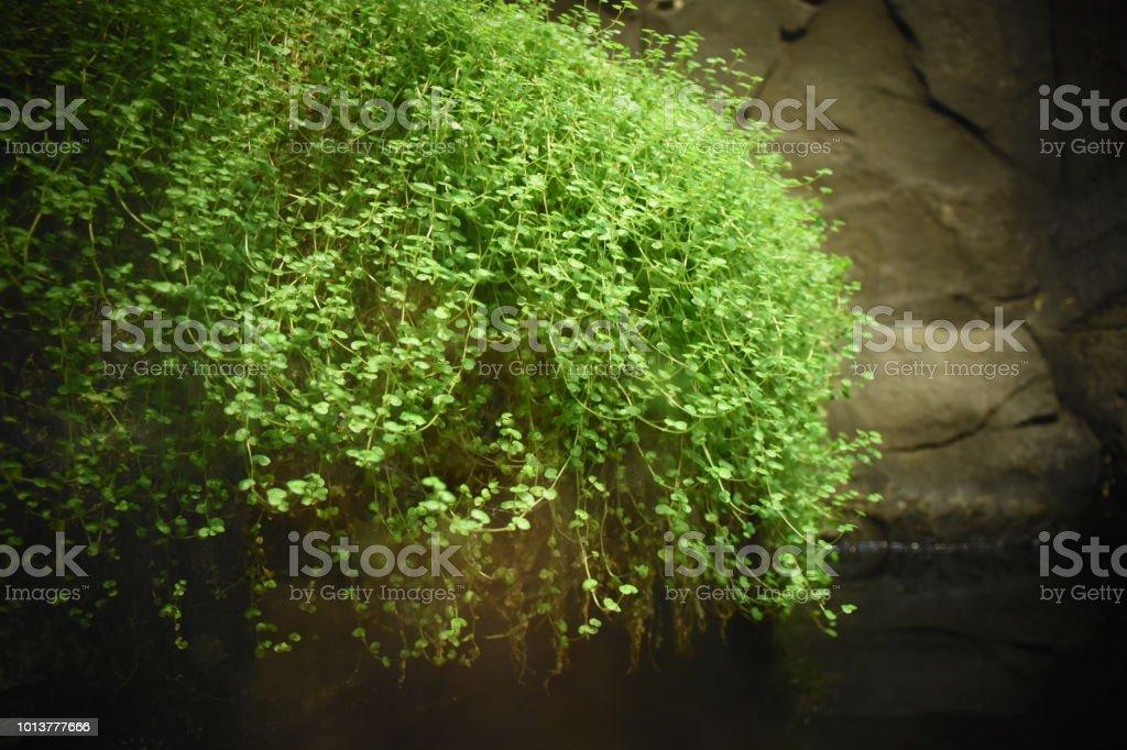 Plantes d'aquarium - Photo